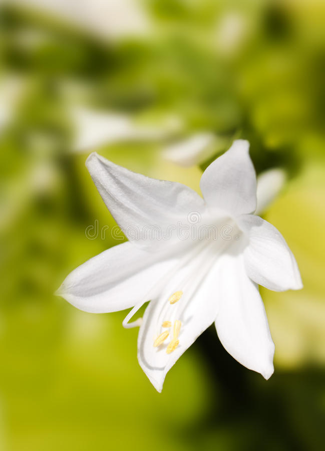 Download White lily stock photo. Image of closeup, macro, nature - 20849486