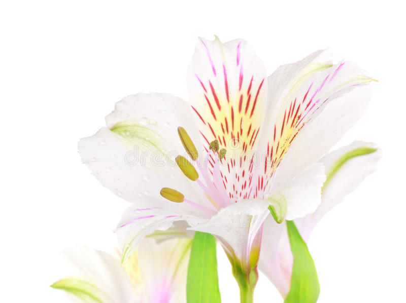 Download White Lily stock photo. Image of lily, horizontal, beautiful - 26020422