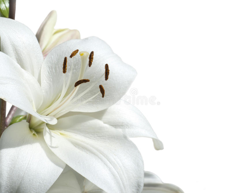 Download White lily. stock photo. Image of grass, color, flower - 26589504