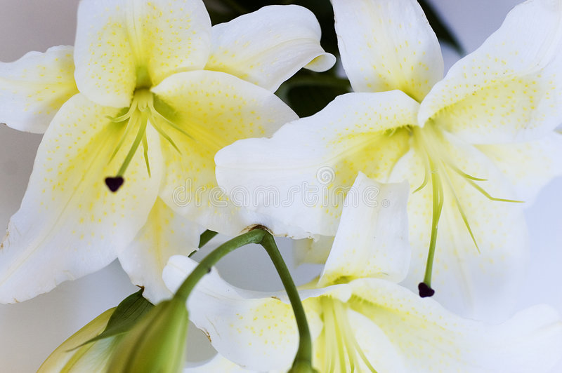 Download White lily stock photo. Image of freshness, flower, beauty - 3398644
