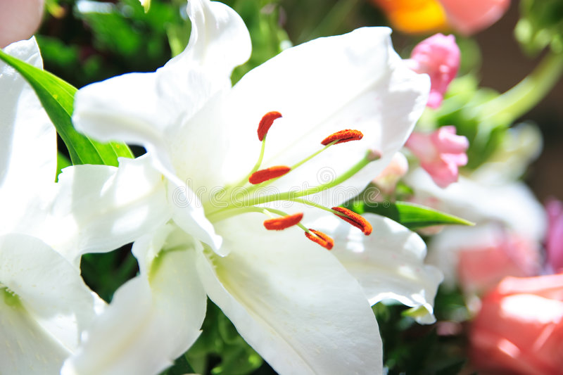 Download White lily stock image. Image of white, plant, lily, pink - 4593039