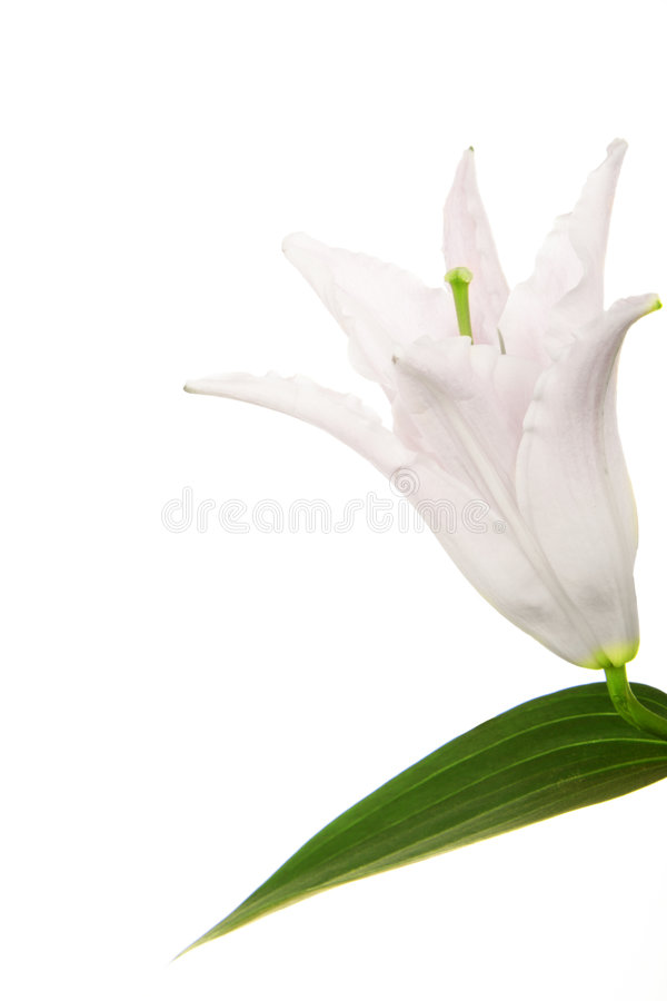 Download White Lily stock photo. Image of isolated, nature, perennial - 7981574