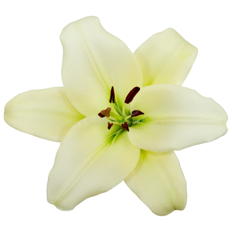 Download White lily stock photo. Image of madonna, plant, blossom - 9188008