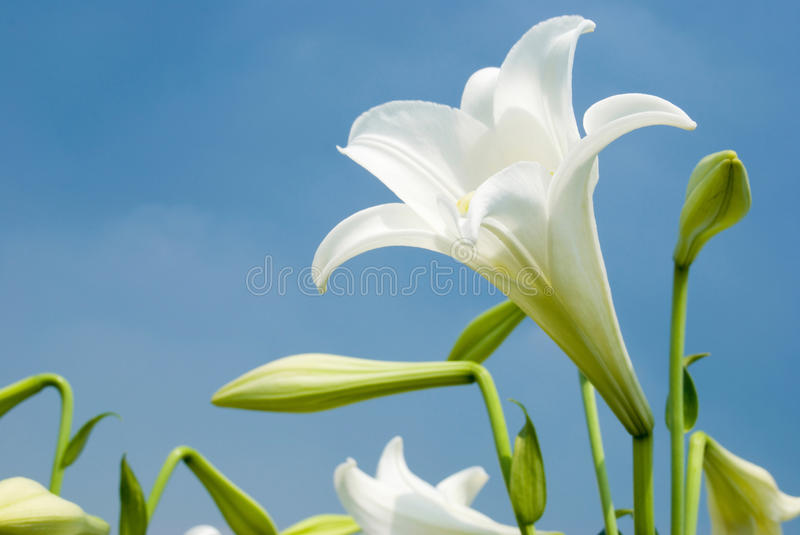 White lily stock photography