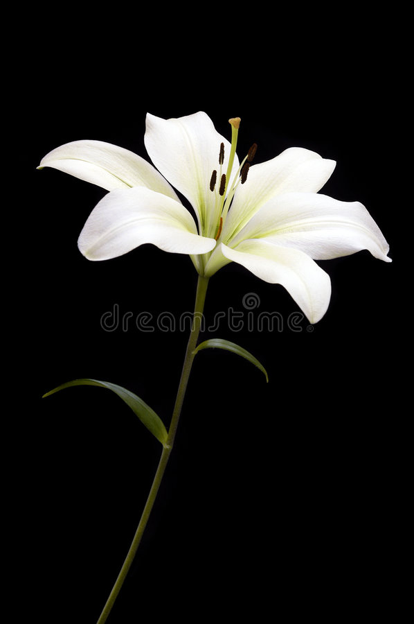 Download White Lily On Black Stock Image - Image: 2315941