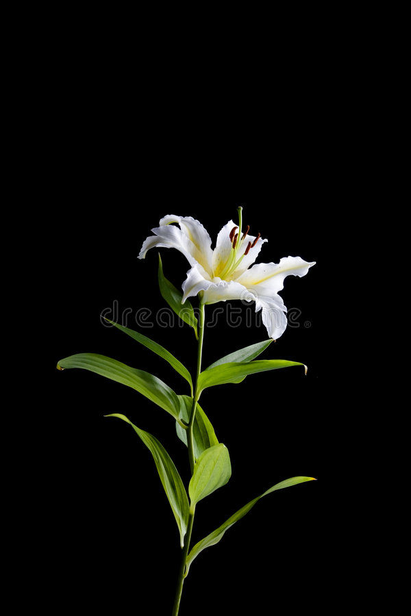 White lily on black background royalty free stock photo