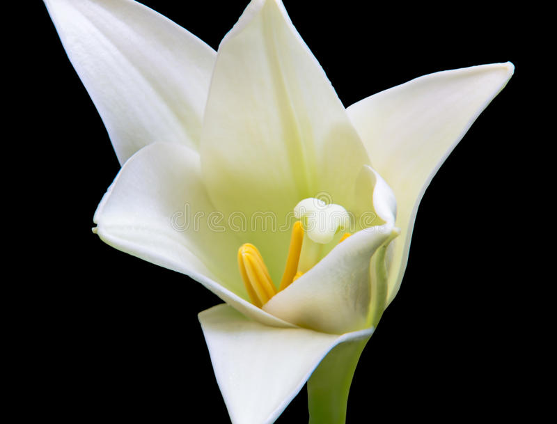 White Lily on a Black Background. A stunning White Lily on a black background not fully opened but showing the true breathtaking beauty it will impart on anyone stock photography