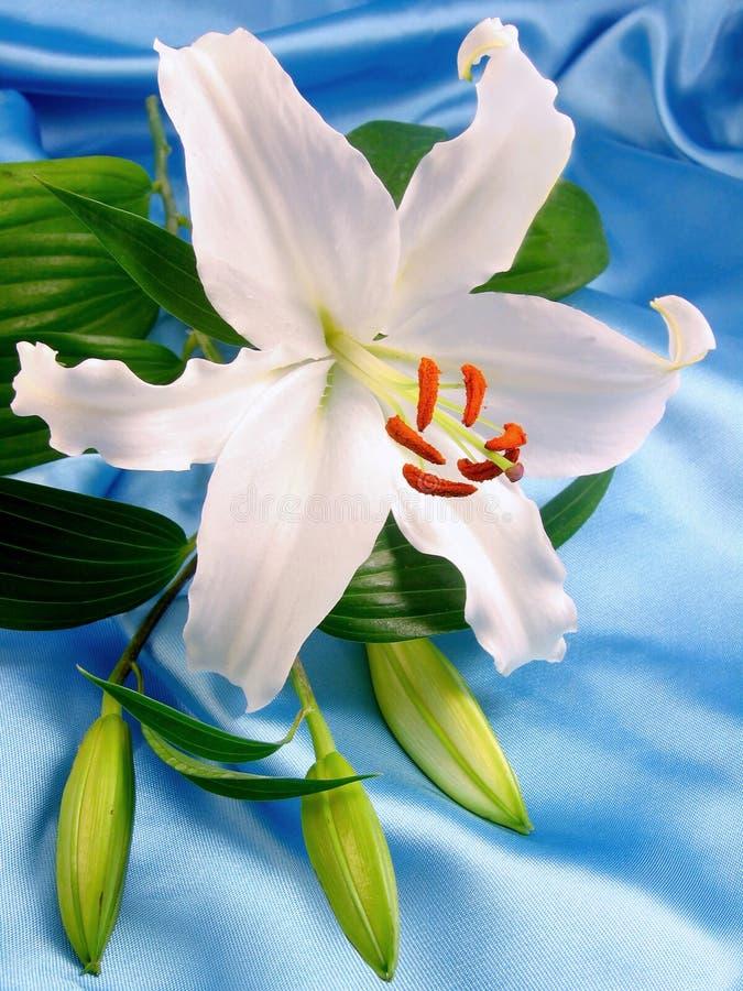 White lily on blue satin royalty free stock photos