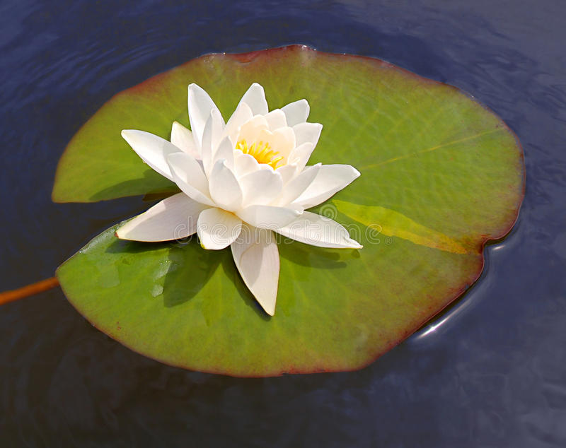 White lily and blue water. White lily floating on blue water royalty free stock photo