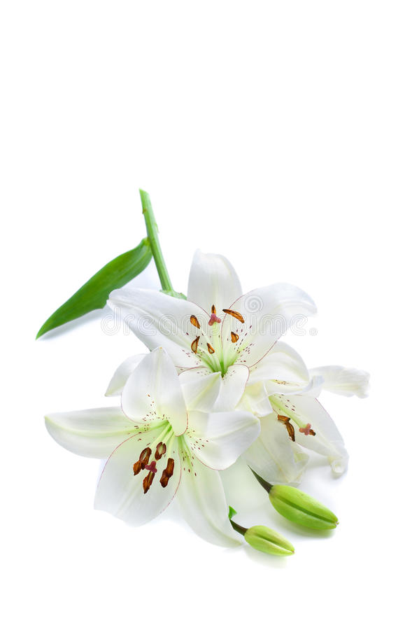 Download White Lily Branch, Isolated On White Stock Photo - Image of delicate, bloom: 16748512