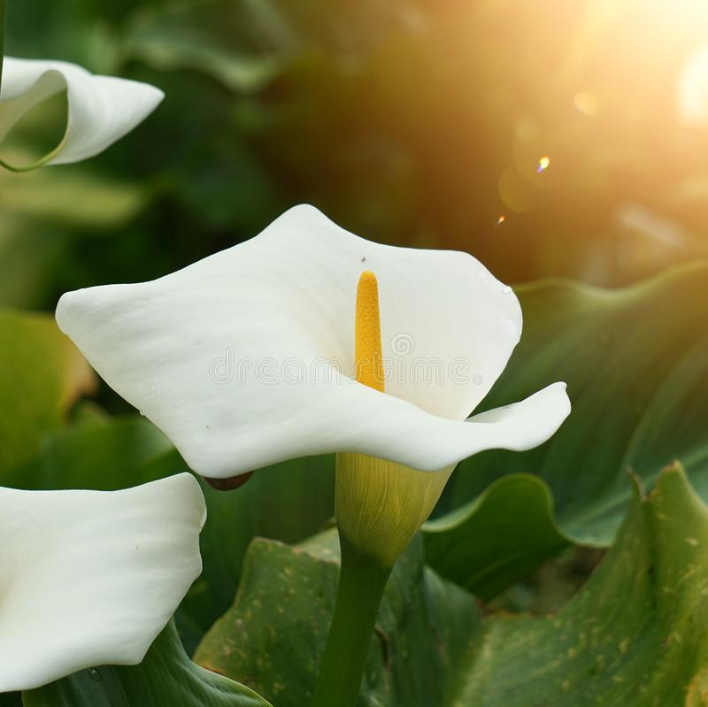 White lily calla flower plant in the garden royalty free stock image