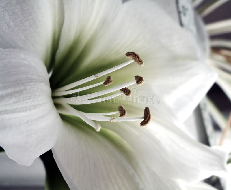 White Lily flower. Beautiful white lily flower close up stock photos