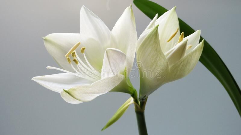 White lily flower in bloom stock photo