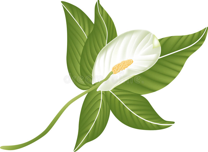 Download White lily flower stock vector. Illustration of blossoms - 31327252
