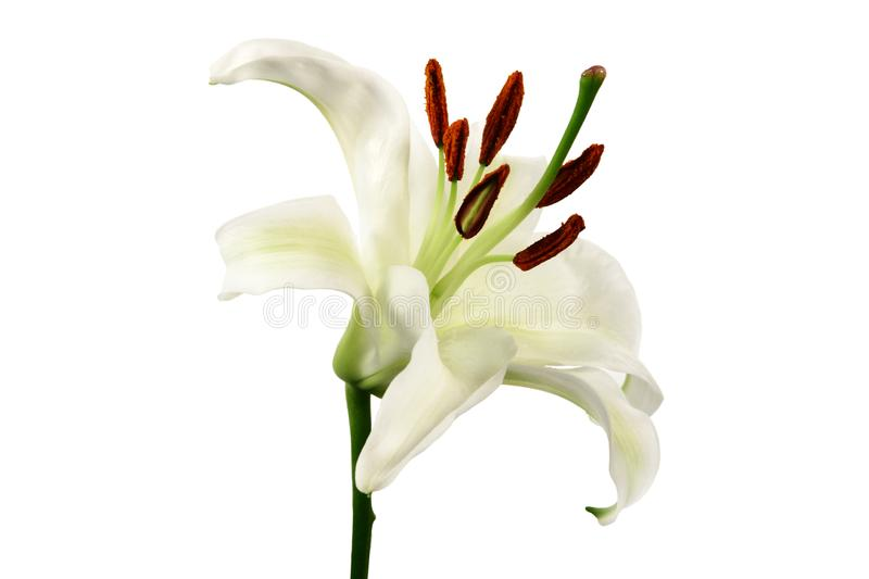 White lily flower ion white background. stock image