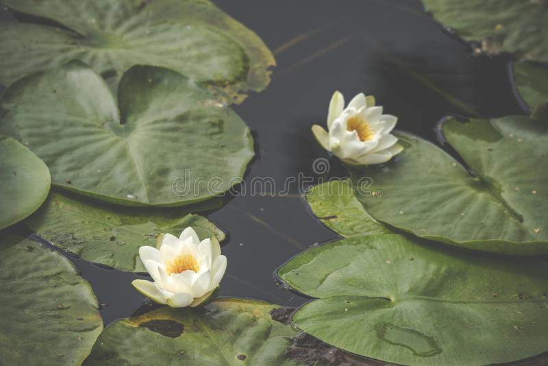 White lily flowers in calm and dark water stock photos