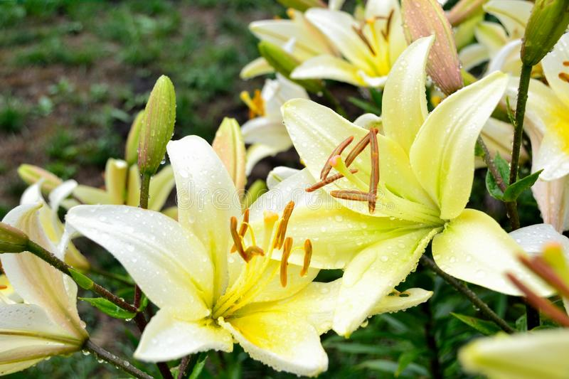 Download White lily stock image. Image of flower, rain, blossoming - 32483023