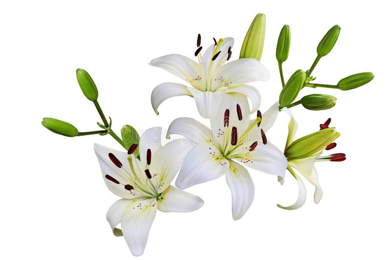 Download White Lily stock image. Image of springtime, lily, plant - 33247139