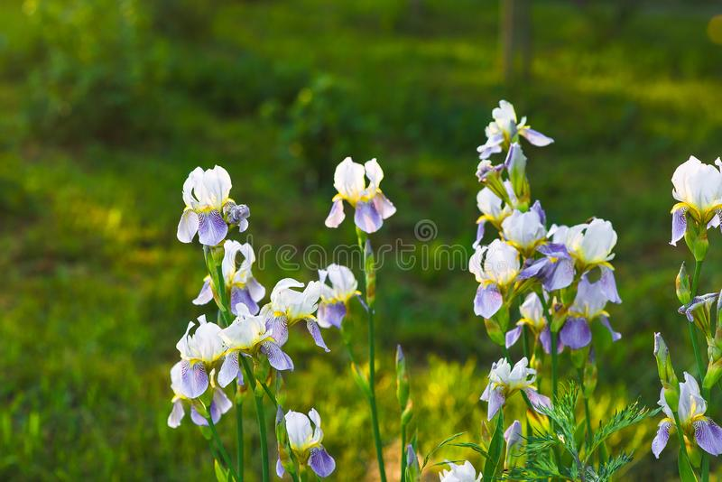 White lily orchids with lilac petals in a green summer garden stock photo