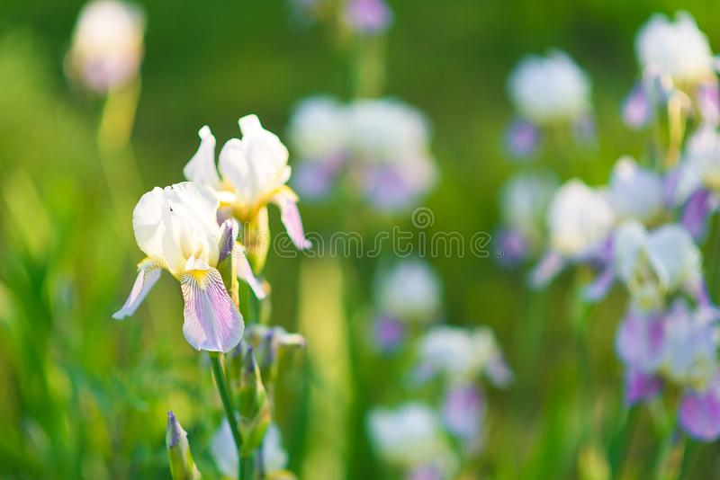 White lily orchids with lilac petals in a green summer garden royalty free stock photography