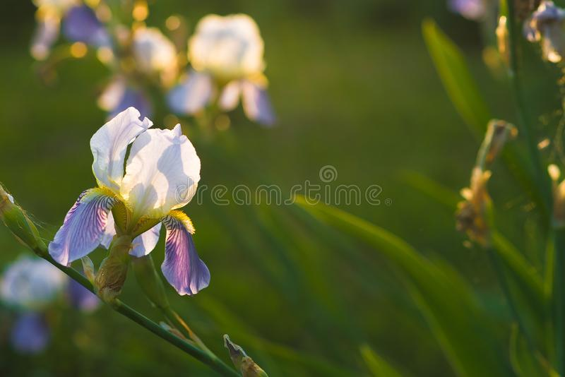 White lily orchids with lilac petals in a green summer garden royalty free stock image
