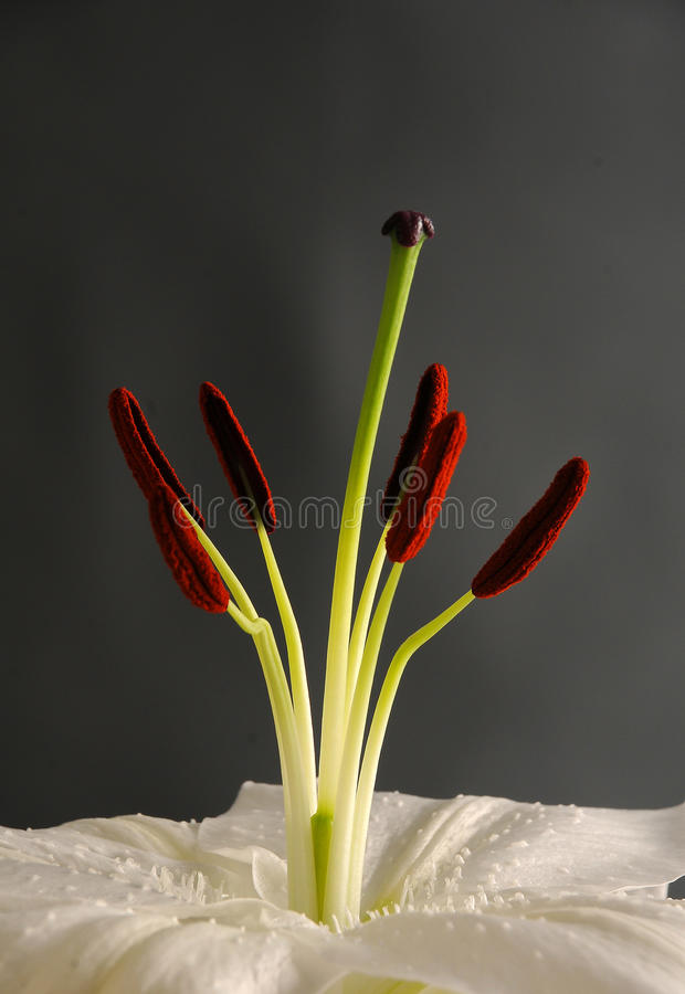 Download White Lily Stock Photos - Image: 34114793