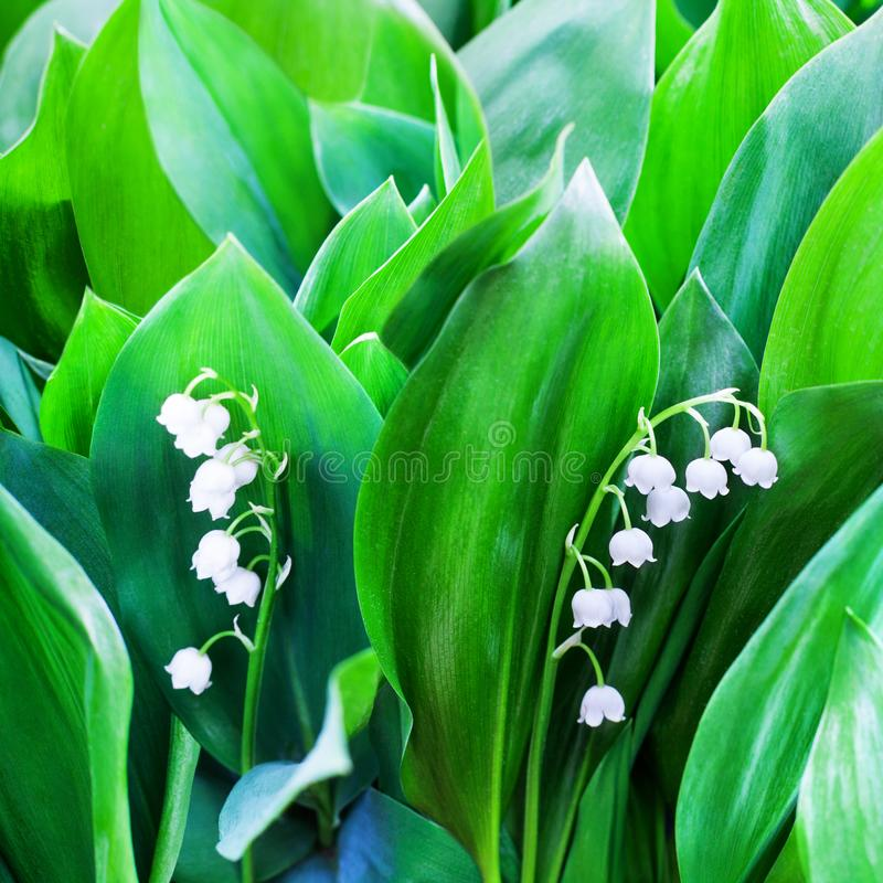 White lily of the valley flowers on green leaves blurred background close up, may lily flower macro, Convallaria majalis in bloom. Beautiful spring or summer royalty free stock photos