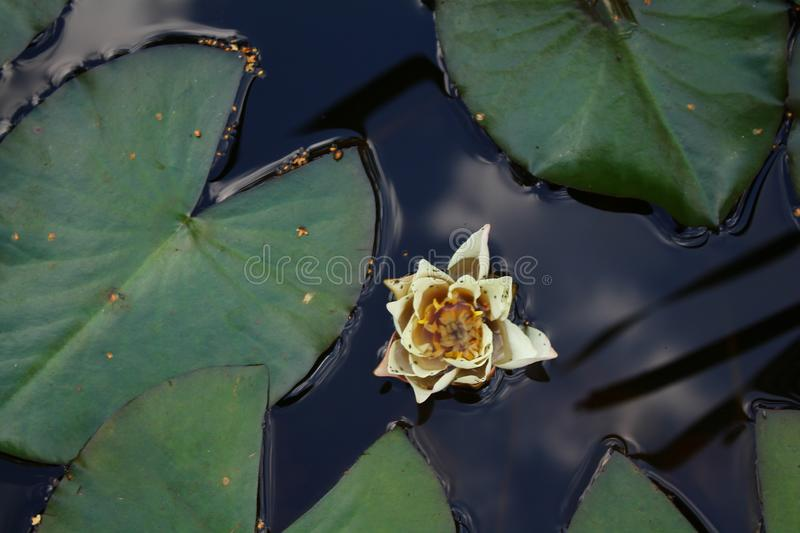 White lily on water on the background of round leaves of lilies stock photos
