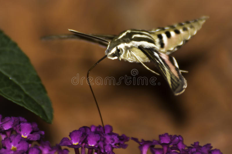 White-Lined Sphinx Hummingbird Moth. Closeup view of a White-Lined Sphinx Hummingbird Moth (hyles lineata) hovering and sipping nectar from a butterfly bush stock images