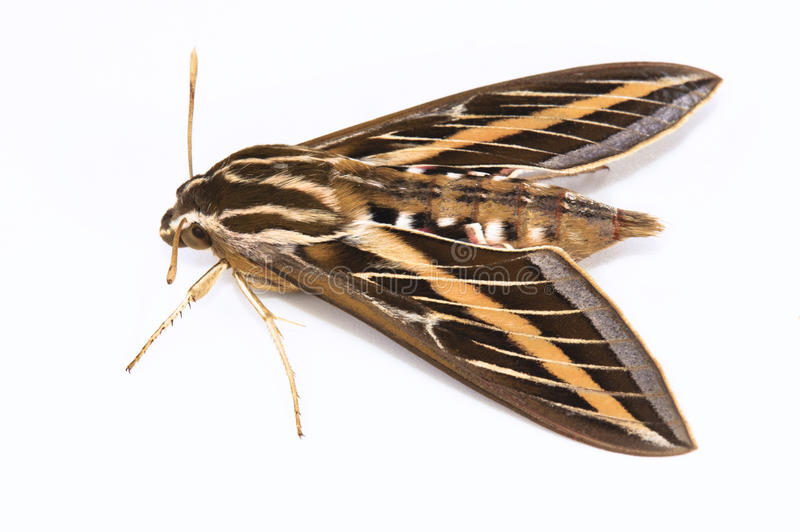 Download White-lined Sphinx Moth stock image. Image of sphinx - 21576135