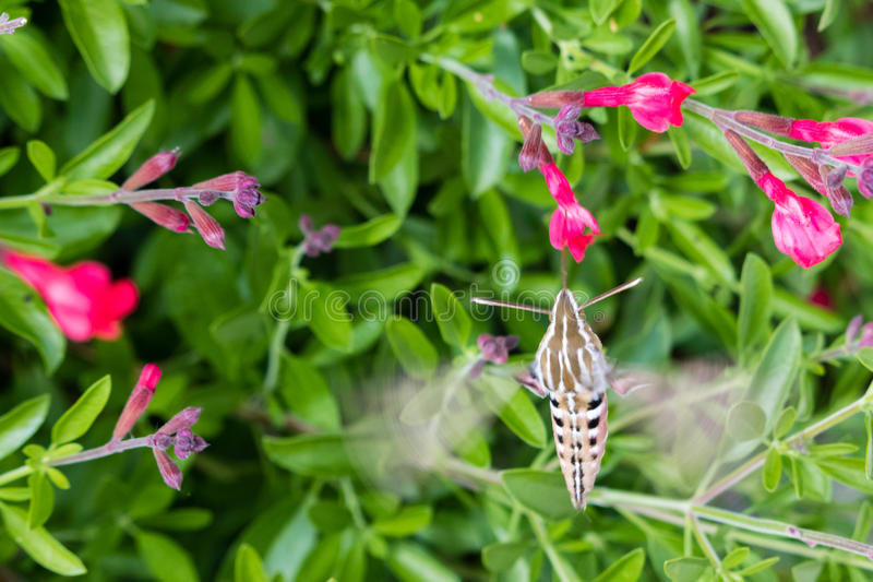 White Lined Sphinx Moth royalty free stock photos