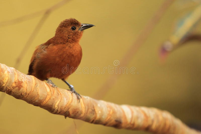 White-lined Tanager Royalty Free Stock Image