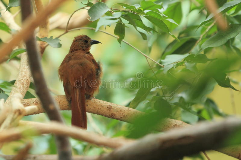 White-lined Tanager Royalty Free Stock Photos