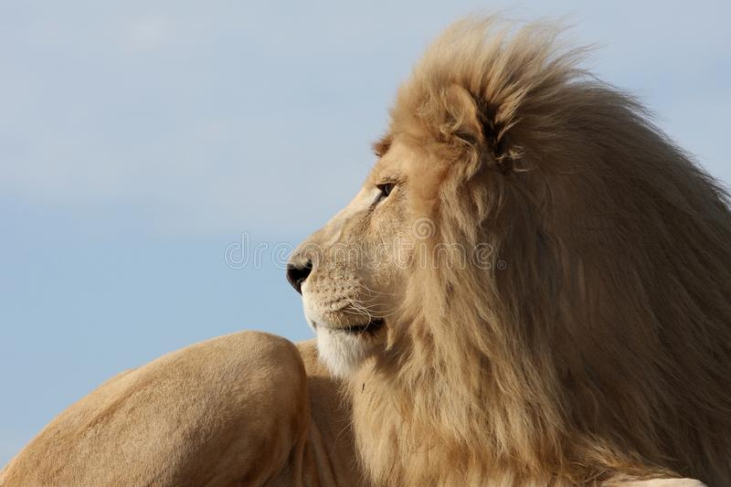 Download White Lion stock image. Image of animal, lion, africa - 10857047