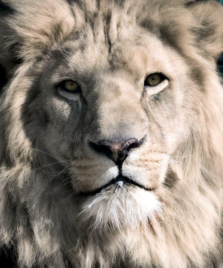 White lion. Close up portrait of the white lions face