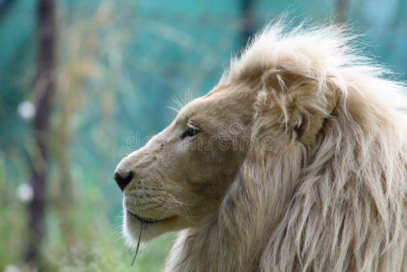 White lion. Beautiful white lion looking to the left stock photos