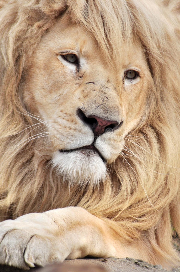 White lion. Close up portrait of a white lion male animal stock image