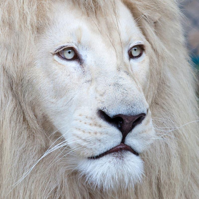 White Lion. Beautiful and mesmerizing white lion portrait royalty free stock image