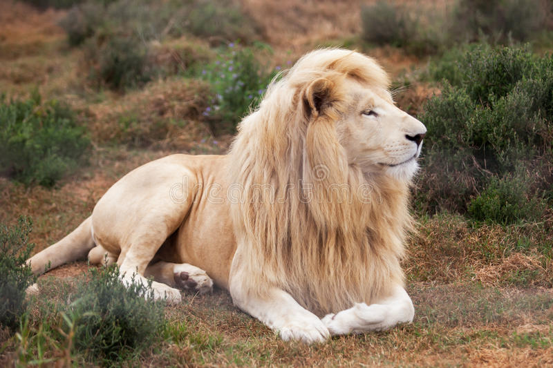 White lion. The white lion is laying relaxed in his habitat stock images