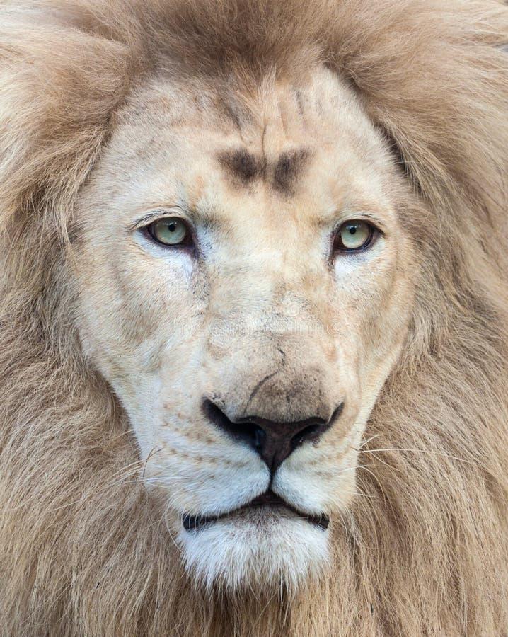 White Lion. Beautiful and mesmerizing white lion portrait royalty free stock images