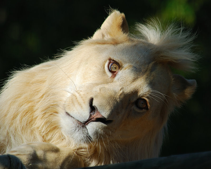 White Lion. With head at 45 degrees, braught to extiction for 12 years in the wild by canned hunting stock image