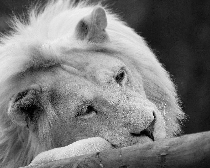 White Lion. Braught to extiction for 12 years in the wild by canned hunting royalty free stock image