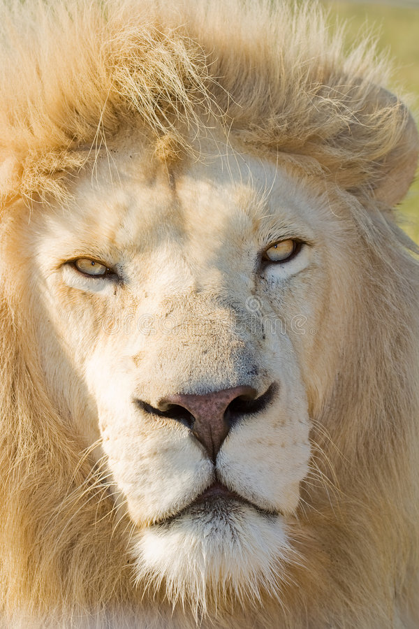 White Lion. Close up head shot of a Male White Lion royalty free stock image