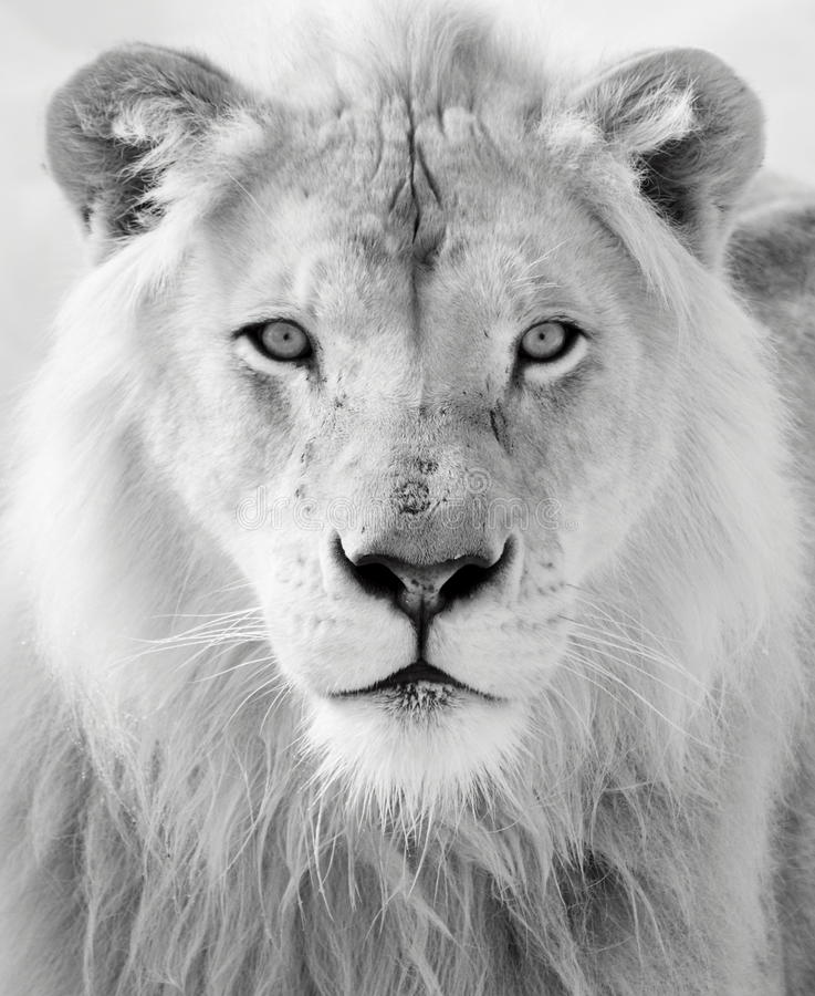 White lion. Close up shot of white lion portrait royalty free stock photos