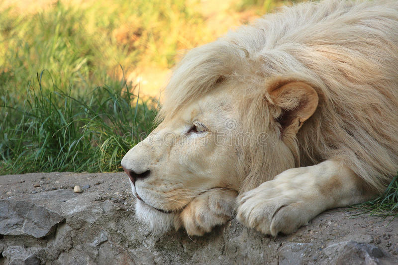 White Lion. Resting on a rock royalty free stock images