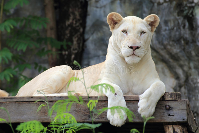 White lion. A white lion asleep on the scaffold royalty free stock photo