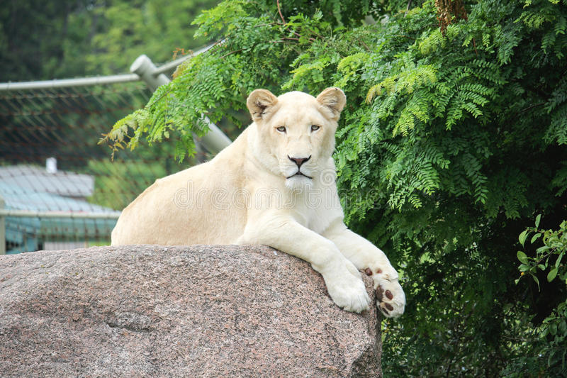 White lion. Beautiful photograph of a lion royalty free stock photography
