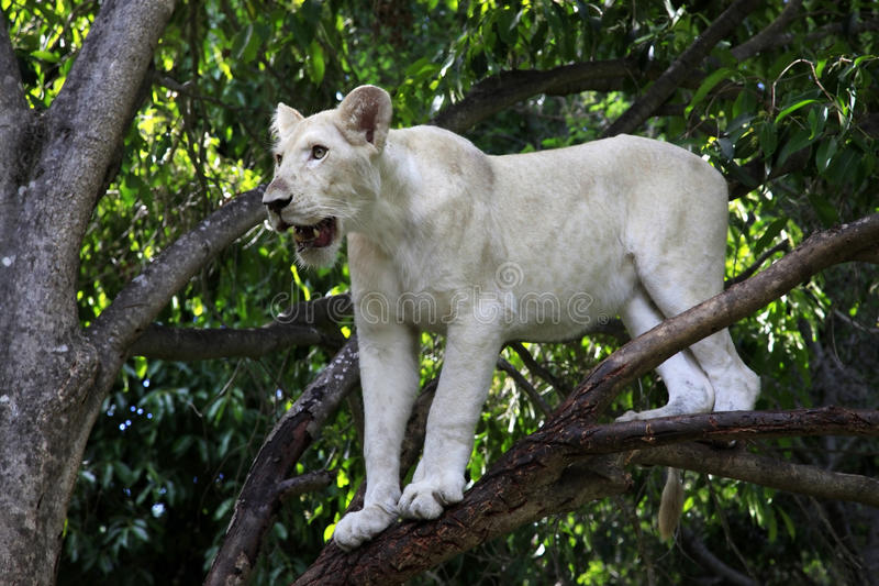 White lion. Casela Natural Park Walk with lions. Mauritius stock image