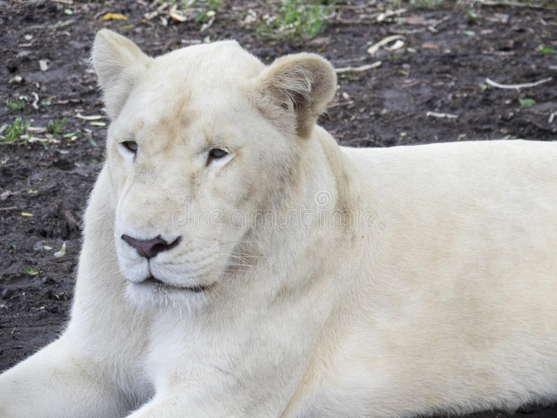 White lion. At Casela Word of Adventures Mauritius. Casela Word of Adventures is an adventure park on the west coast of the island of Mauritius stock photo