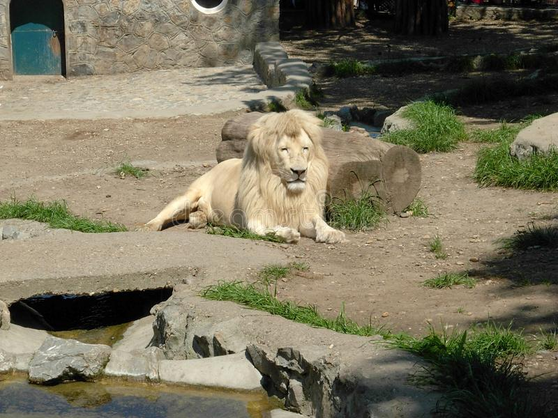 White lion. In the city zoo royalty free stock image